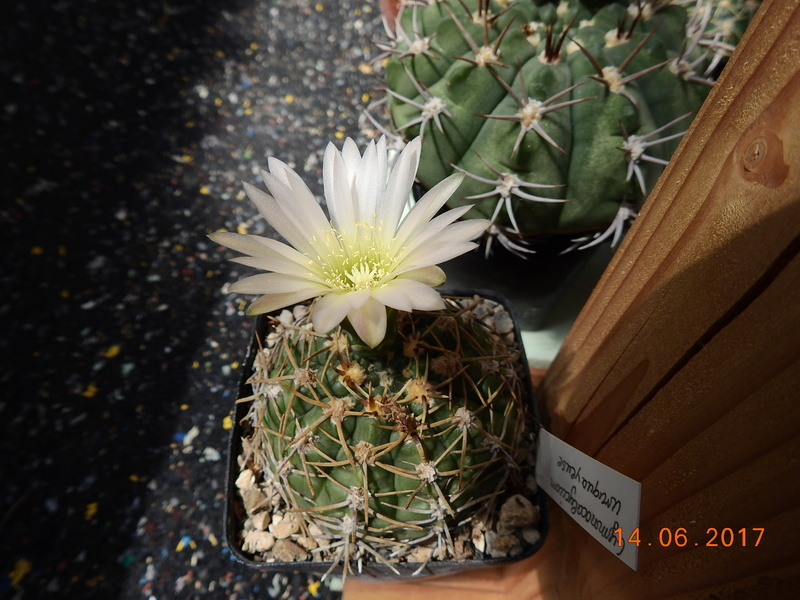 Cacti and Sukkulent in Köln, every day new flowers in the greenhouse Part 166 Bild1128