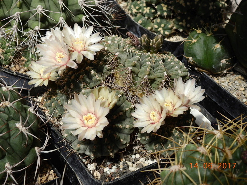Cacti and Sukkulent in Köln, every day new flowers in the greenhouse Part 166 Bild1130