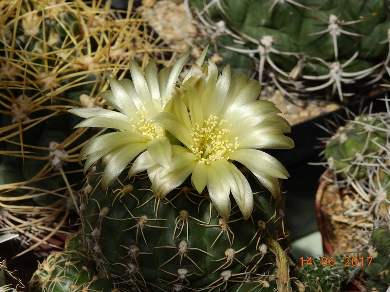Cacti and Sukkulent in Köln, every day new flowers in the greenhouse Part 166 Bild1131