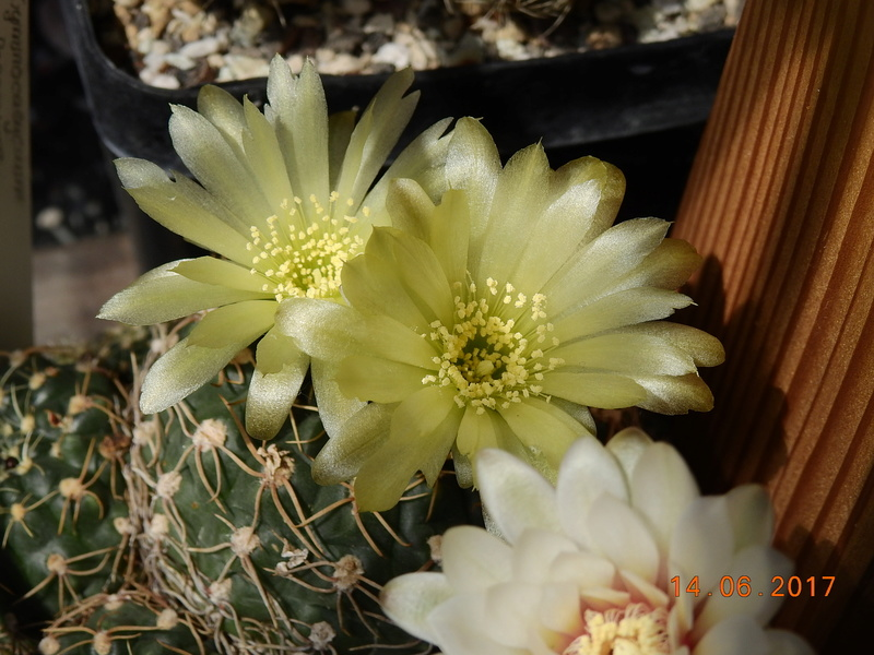 Cacti and Sukkulent in Köln, every day new flowers in the greenhouse Part 166 Bild1133