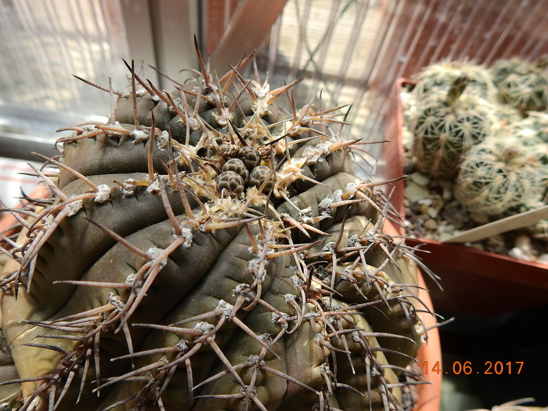 Cacti and Sukkulent in Köln, every day new flowers in the greenhouse Part 166 Bild1142