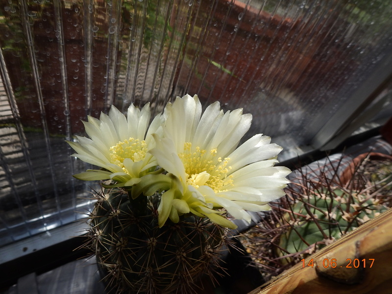 Cacti and Sukkulent in Köln, every day new flowers in the greenhouse Part 166 Bild1143
