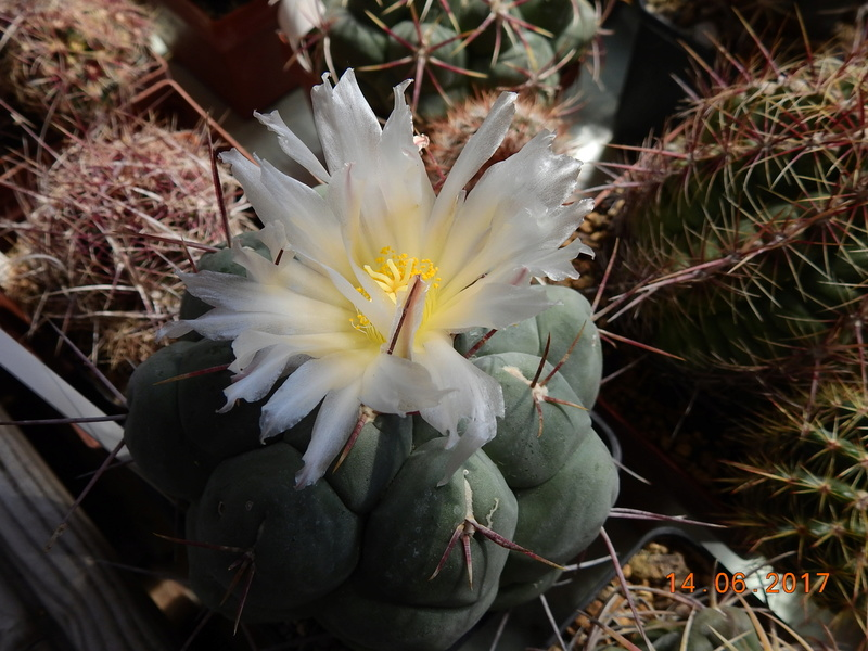 Cacti and Sukkulent in Köln, every day new flowers in the greenhouse Part 166 Bild1150