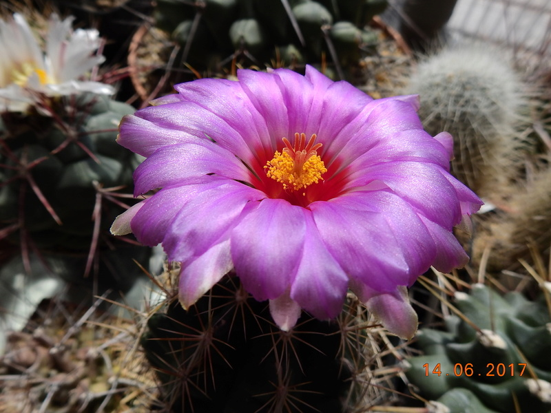 Cacti and Sukkulent in Köln, every day new flowers in the greenhouse Part 166 Bild1151