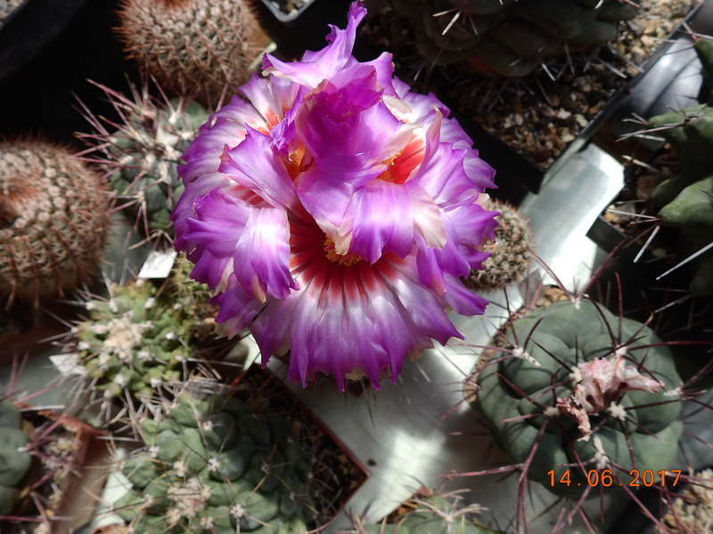Cacti and Sukkulent in Köln, every day new flowers in the greenhouse Part 166 Bild1152
