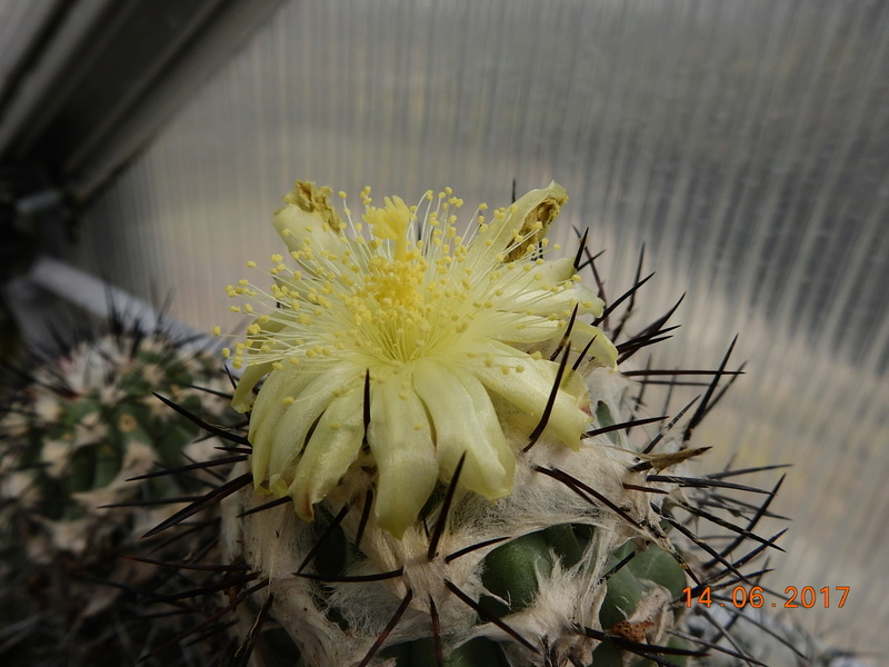 Cacti and Sukkulent in Köln, every day new flowers in the greenhouse Part 166 Bild1157