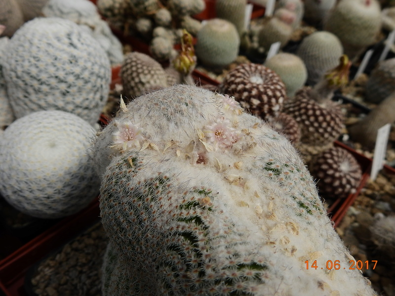 Cacti and Sukkulent in Köln, every day new flowers in the greenhouse Part 166 Bild1174