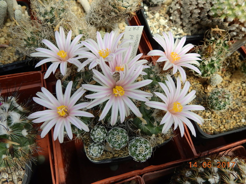 Cacti and Sukkulent in Köln, every day new flowers in the greenhouse Part 166 Bild1178