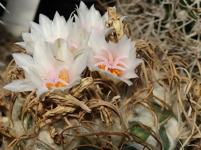 Cacti and Sukkulent in Köln, every day new flowers in the greenhouse Part 166 Bild1180