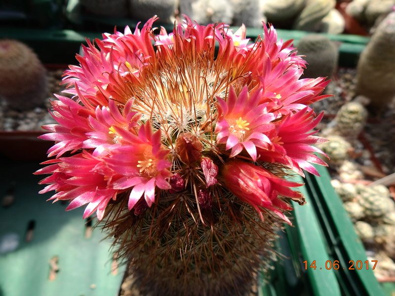 Cacti and Sukkulent in Köln, every day new flowers in the greenhouse Part 166 Bild1190