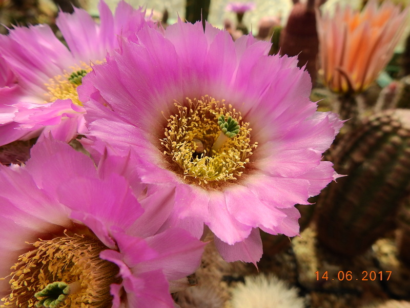Cacti and Sukkulent in Köln, every day new flowers in the greenhouse Part 166 Bild1191
