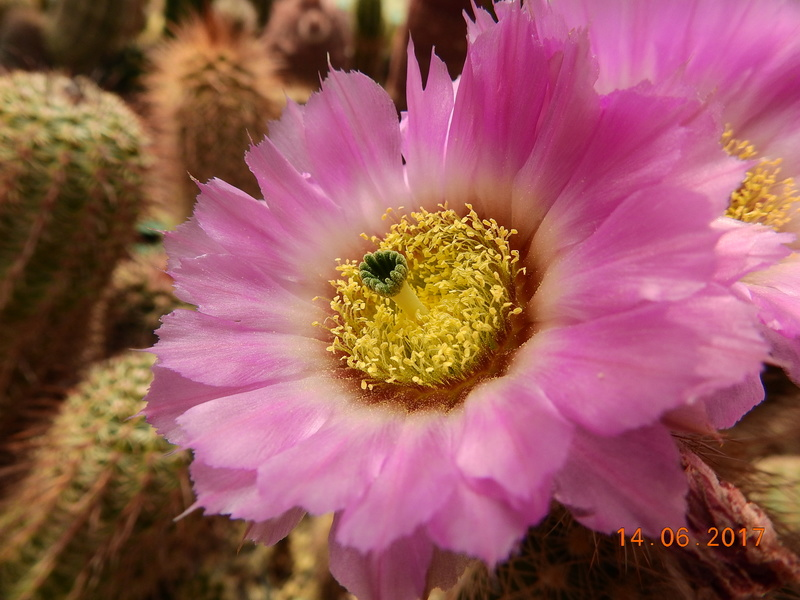 Cacti and Sukkulent in Köln, every day new flowers in the greenhouse Part 166 Bild1199