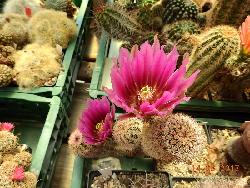 Cacti and Sukkulent in Köln, every day new flowers in the greenhouse Part 166 Bild1200