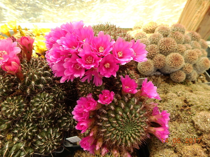 Cacti and Sukkulent in Köln, every day new flowers in the greenhouse Part 166 Bild1208