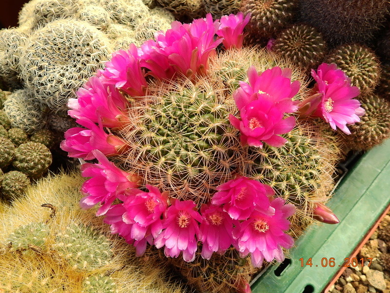 Cacti and Sukkulent in Köln, every day new flowers in the greenhouse Part 166 Bild1211