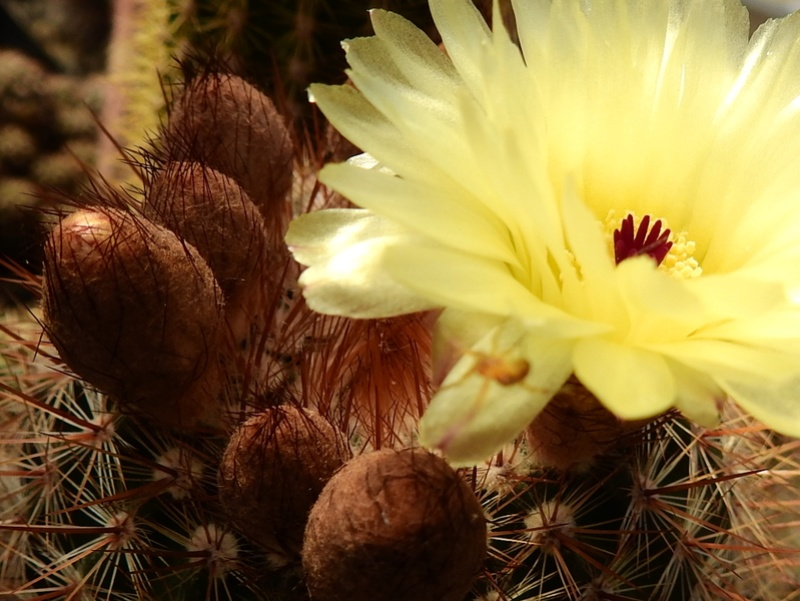 Cacti and Sukkulent in Köln, every day new flowers in the greenhouse Part 166 Bild1213