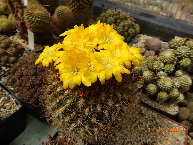 Cacti and Sukkulent in Köln, every day new flowers in the greenhouse Part 166 Bild1216
