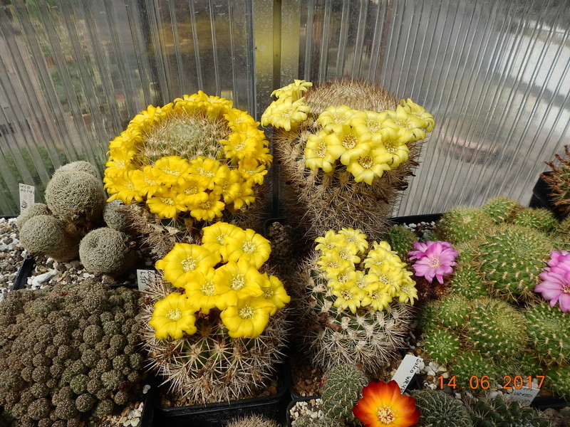 Cacti and Sukkulent in Köln, every day new flowers in the greenhouse Part 166 Bild1217