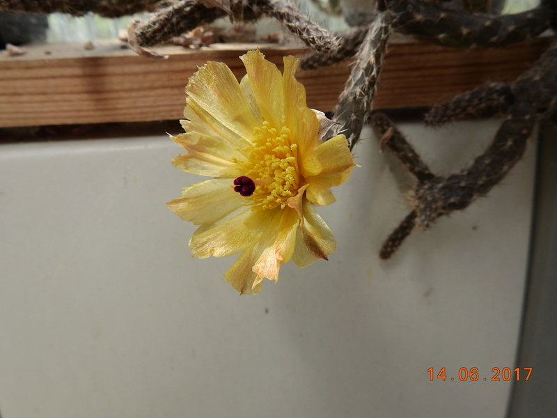 Cacti and Sukkulent in Köln, every day new flowers in the greenhouse Part 166 Bild1218
