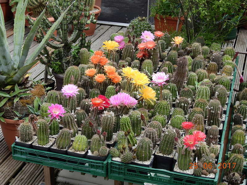 Cacti and Sukkulent in Köln, every day new flowers in the greenhouse Part 166 Bild1224