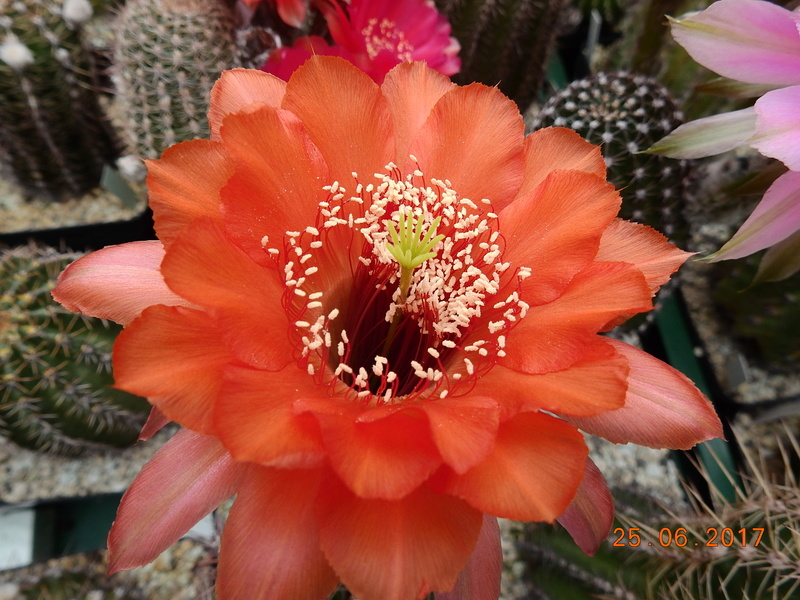 Cacti and Sukkulent in Köln, every day new flowers in the greenhouse Part 166 Bild1230