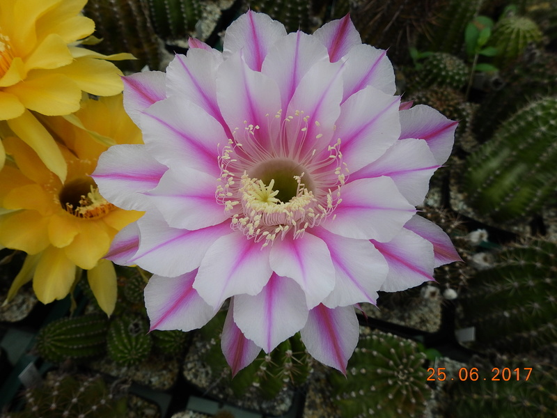 Cacti and Sukkulent in Köln, every day new flowers in the greenhouse Part 166 Bild1231