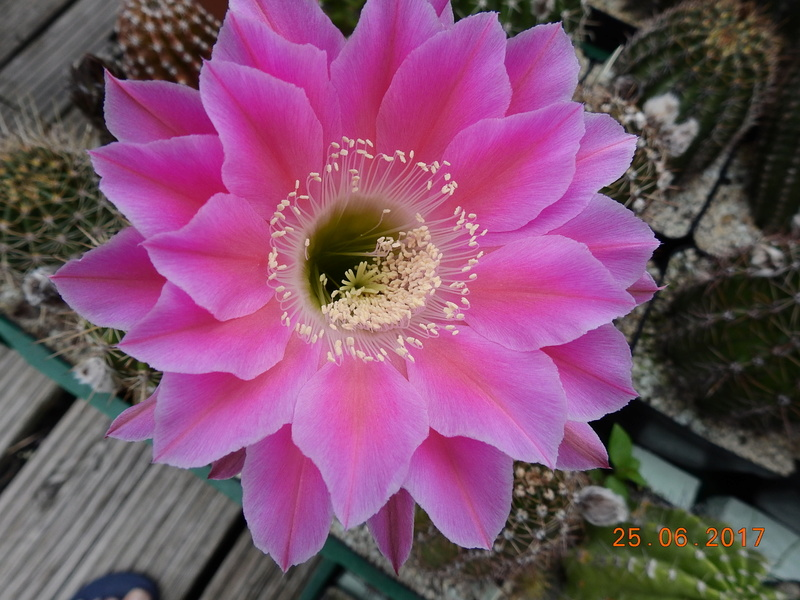 Cacti and Sukkulent in Köln, every day new flowers in the greenhouse Part 166 Bild1233