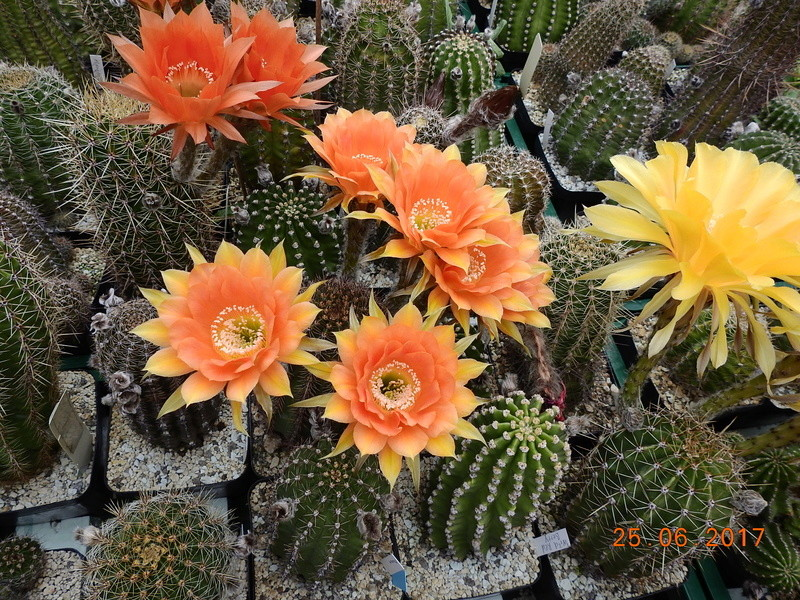 Cacti and Sukkulent in Köln, every day new flowers in the greenhouse Part 166 Bild1235