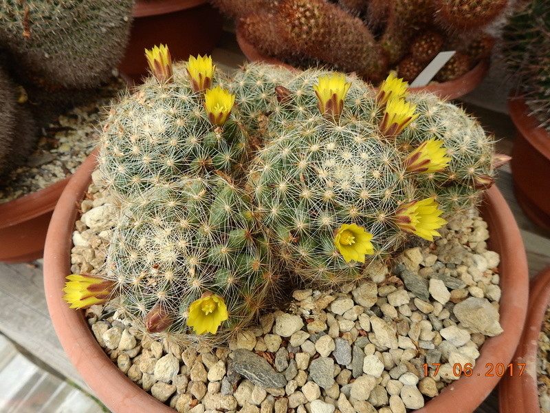 Cacti and Sukkulent in Köln, every day new flowers in the greenhouse Part 167 Bild1253