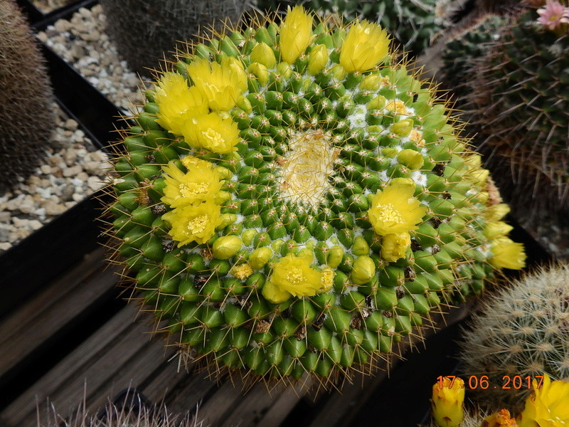 Cacti and Sukkulent in Köln, every day new flowers in the greenhouse Part 167 Bild1257