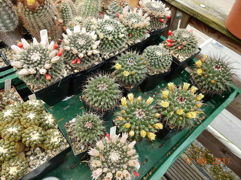 Cacti and Sukkulent in Köln, every day new flowers in the greenhouse Part 167 Bild1260