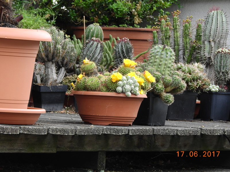 Cacti and Sukkulent in Köln, every day new flowers in the greenhouse Part 167 Bild1263