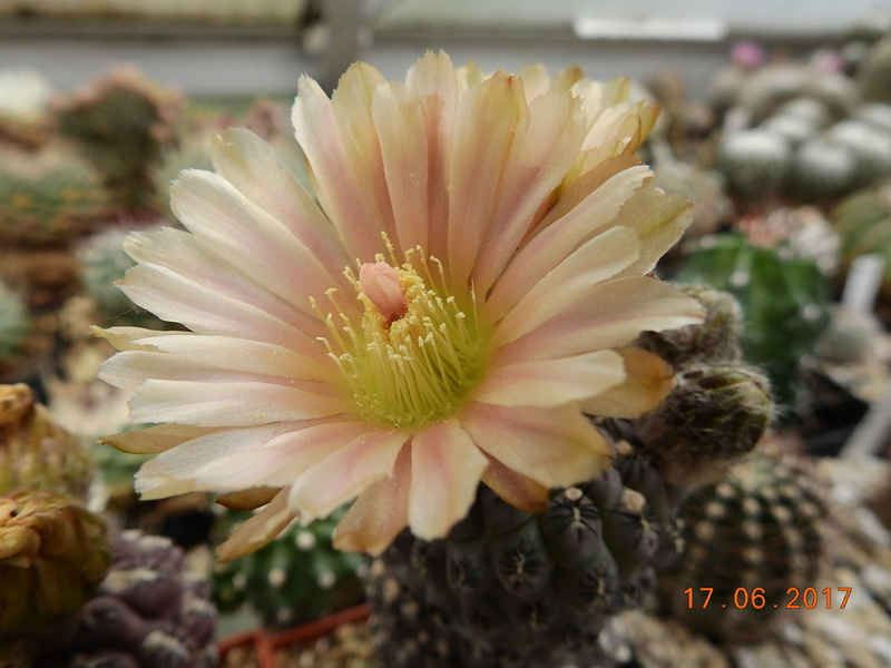Cacti and Sukkulent in Köln, every day new flowers in the greenhouse Part 167 Bild1267