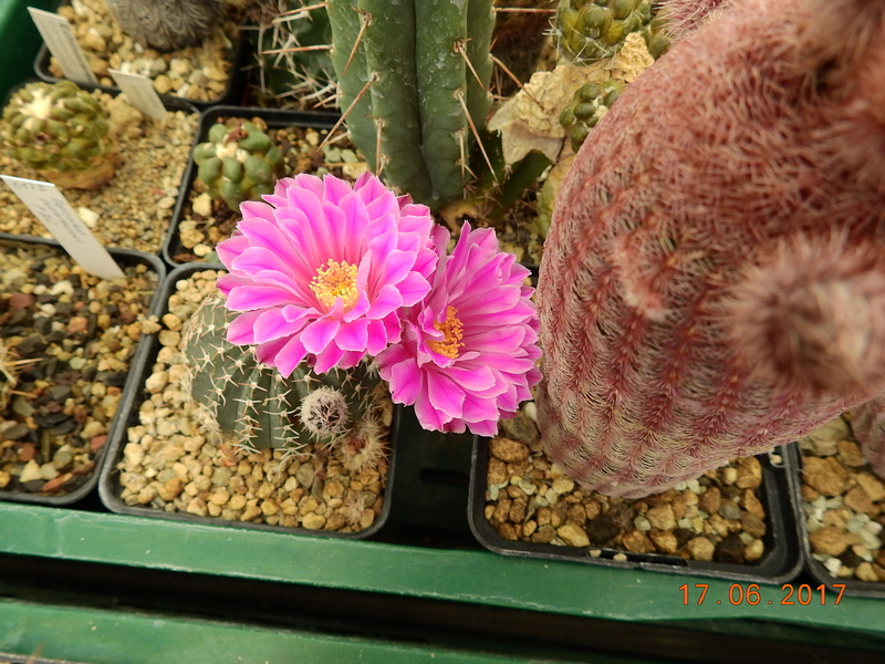 Cacti and Sukkulent in Köln, every day new flowers in the greenhouse Part 167 Bild1274