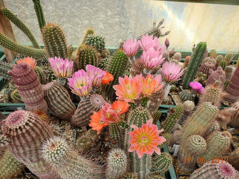 Cacti and Sukkulent in Köln, every day new flowers in the greenhouse Part 167 Bild1275