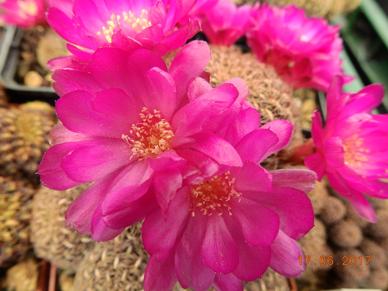 Cacti and Sukkulent in Köln, every day new flowers in the greenhouse Part 167 Bild1278