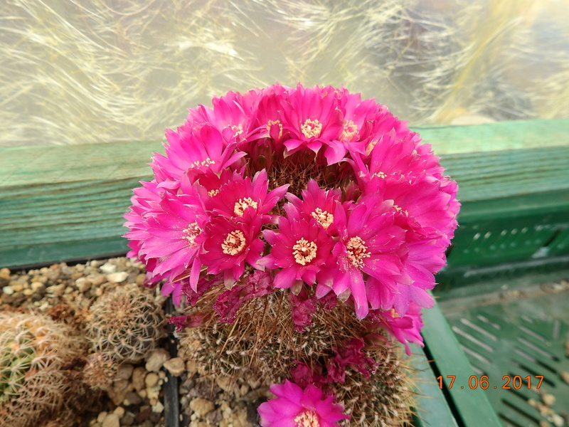Cacti and Sukkulent in Köln, every day new flowers in the greenhouse Part 167 Bild1279