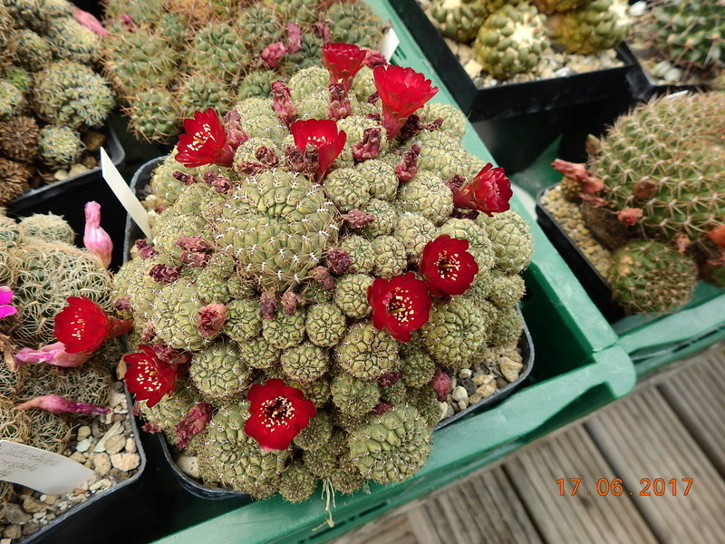 Cacti and Sukkulent in Köln, every day new flowers in the greenhouse Part 167 Bild1281