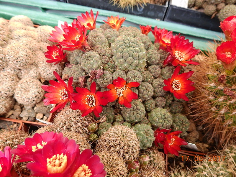 Cacti and Sukkulent in Köln, every day new flowers in the greenhouse Part 167 Bild1289
