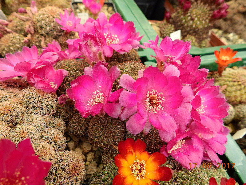 Cacti and Sukkulent in Köln, every day new flowers in the greenhouse Part 167 Bild1290