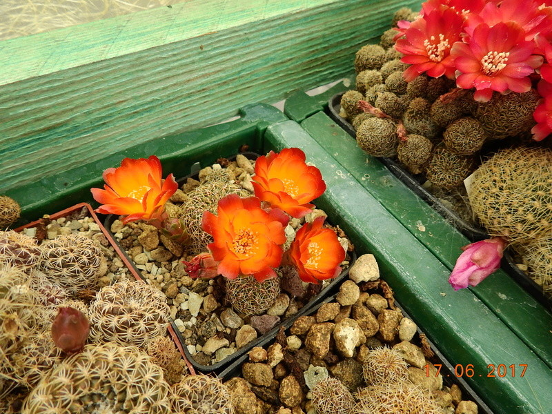 Cacti and Sukkulent in Köln, every day new flowers in the greenhouse Part 167 Bild1296