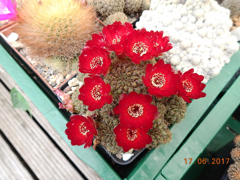 Cacti and Sukkulent in Köln, every day new flowers in the greenhouse Part 167 Bild1299