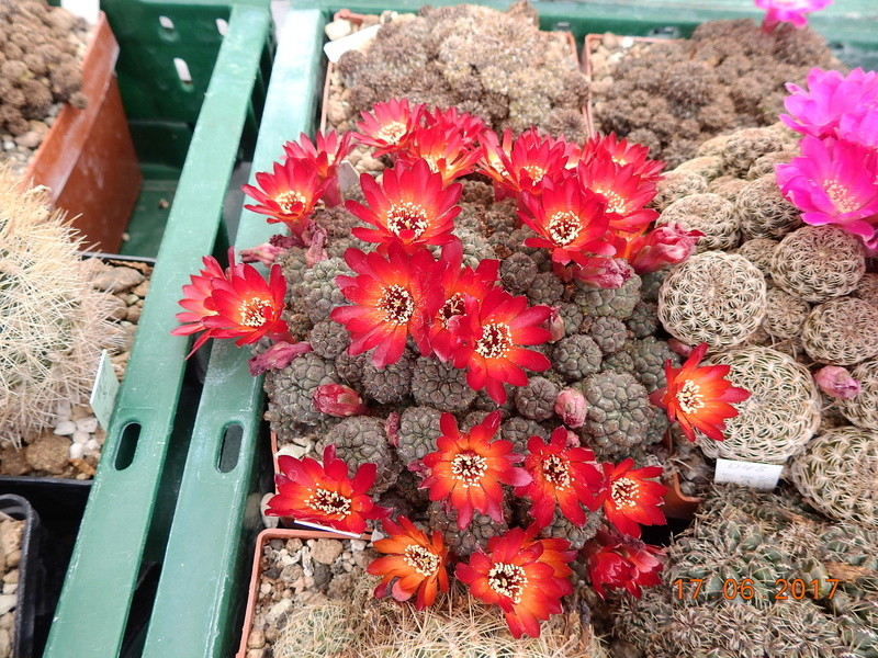 Cacti and Sukkulent in Köln, every day new flowers in the greenhouse Part 167 Bild1300