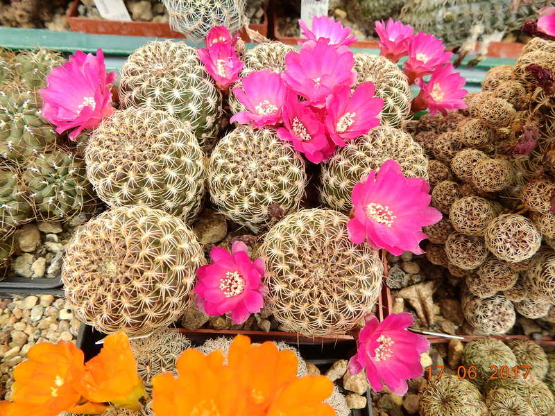 Cacti and Sukkulent in Köln, every day new flowers in the greenhouse Part 167 Bild1302