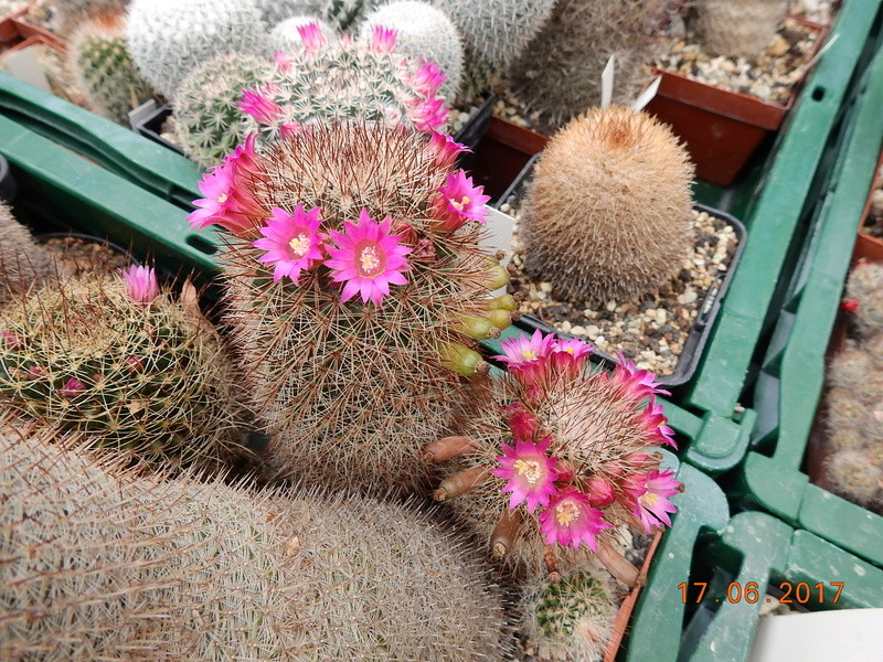 Cacti and Sukkulent in Köln, every day new flowers in the greenhouse Part 167 Bild1303