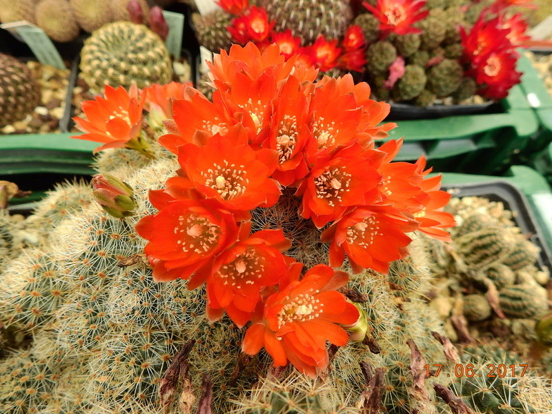 Cacti and Sukkulent in Köln, every day new flowers in the greenhouse Part 167 Bild1307