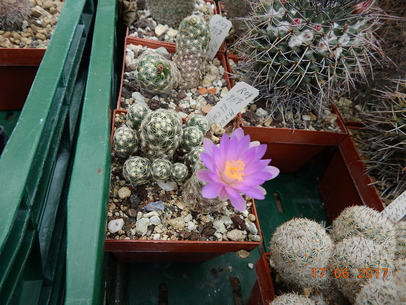 Cacti and Sukkulent in Köln, every day new flowers in the greenhouse Part 167 Bild1309