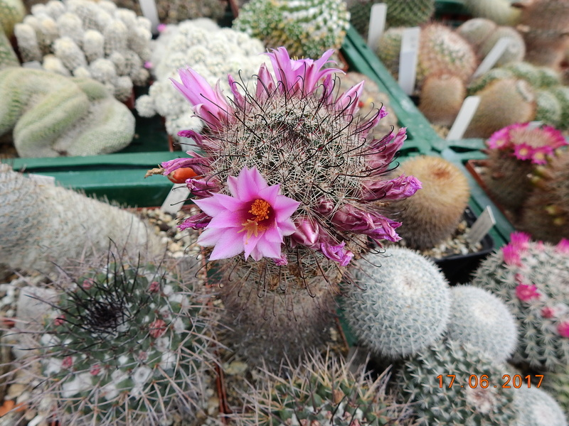 Cacti and Sukkulent in Köln, every day new flowers in the greenhouse Part 167 Bild1310