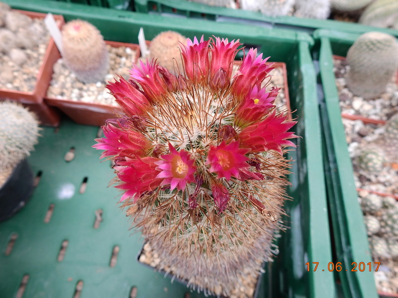 Cacti and Sukkulent in Köln, every day new flowers in the greenhouse Part 167 Bild1312