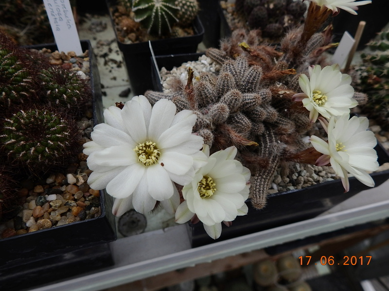 Cacti and Sukkulent in Köln, every day new flowers in the greenhouse Part 167 Bild1314